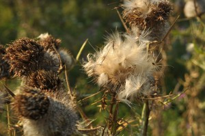 some thistle like dry flower