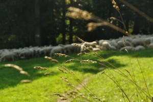 sheep and grass